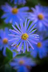 Aster × frikartii 'Monch' syn. Aster amellus L. 'Monch' AGM