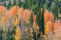 Aspens and pines intermingle as the light begins to fade in Utah's Little Cottonwood Canyon.