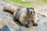"""The hoary marmot (Marmota caligata) is the largest North American ground squirrel and is often nicknamed """"the whistler"""" for its high-pitched warning issued to alert other members of the colony to possible danger. Hike the Garden Wall trail from Logan Pass in Glacier National Park, Montana, USA. Published in 2013 for """"Ranger Rick, Jr. Appventures: Bears App""""."""