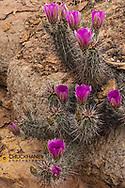 Engelmann's Hedgehog cactus in full bloom near Virgin, Utah, USA
