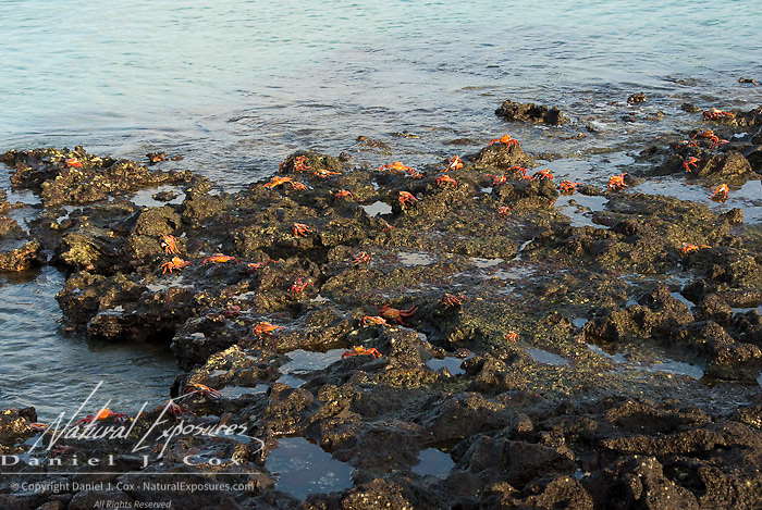Sally LIghtfoot Crab (Percnon gibbesi).  A group of crabs on rocks near the ocean.  Galapagos, Ecuador.