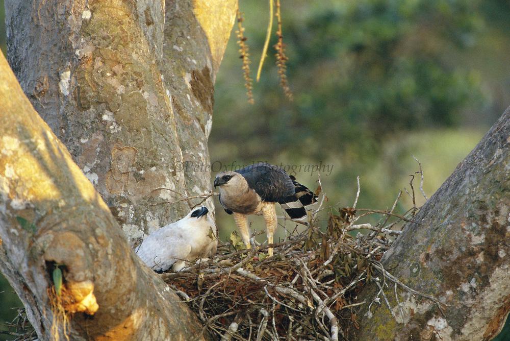 Crested Eagles on Nest (Female and Young)<br />Morphnus guianensis<br />Puerto Maldonado, Amazon Rain Forest.  PERU<br />South America<br />Range: Guatemala to Argentina and Brazil