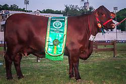 Grande Campea da raça Santa Gertudis durante a 38ª Expointer, que ocorrerá entre 29 de agosto e 06 de setembro de 2015 no Parque de Exposições Assis Brasil, em Esteio. FOTO: Vilmar da Rosa/ Agência Preview