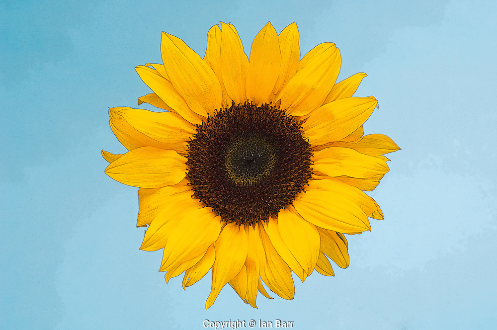 detail shot of a sunflower stylized with poster edges against a blue sky.