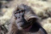 Africa, Ethiopia, Simien mountains, Gelada monkeys Theropithecus gelada