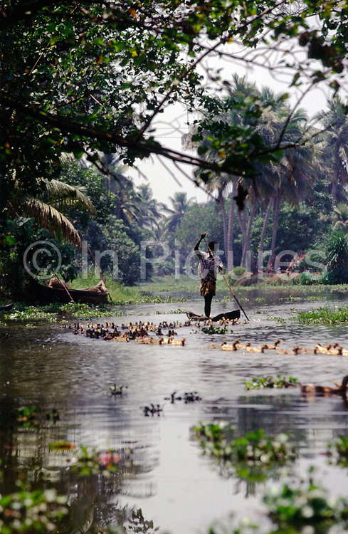 A duckfarmer punts his way downstream with his flock, Ayamenam, Kerala, India..The Kerala backwaters are a chain of brackish lagoons and lakes lying parallel to the Arabian Sea coast (known as the Malabar Coast) of Kerala state in southern India. The network includes five large lakes linked by canals, both manmade and natural, fed by 38 rivers, and extending virtually half the length of Kerala state. The backwaters were formed by the action of waves and shore currents creating low barrier islands across the mouths of the many rivers flowing down from the Western Ghats range..The Kerala Backwaters are a network of interconnected canals, rivers, lakes and inlets, a labyrinthine system formed by more than 900 km of waterways, and sometimes compared to the American Bayou.[1] In the midst of this landscape there are a number of towns and cities, which serve as the starting and end points of backwater cruises