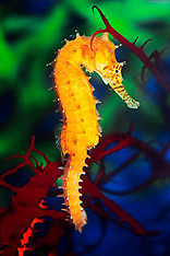 Seahorse - Unsorted
