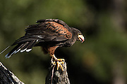 Harris Hawk eating at the Center for Birds of Prey November 15, 2015 in Awendaw, SC.