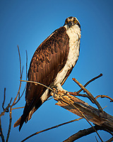 Osprey in a tree at Fort De Soto Park. Pinellas County, Florida Image taken with a Fuji X-T2 camera and 100-400 mm OIS lens (ISO 200, 400 mm, f/5.6, 1/800 sec).