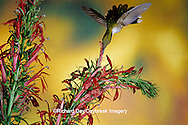 01162-06512  Ruby-throated Hummingbird (Archilochus colubris) female on Cardinal Flower (Lobelia cardinalis) Shelby Co. IL