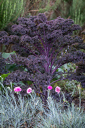 Kale 'Dwarf Curly Scarlet' and dianthus