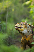Land Iguana, Santa Cruz Island, Galapagos, Ecuador, South America