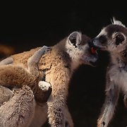 Ring-tailed Lemur, (Lemur catta) ENDANGERED SPECIES. Pair with young grooming. Madagascar.