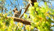 A koala bear munching on leaves in a tree in Australia