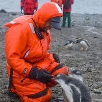 Enduring rain, tourists admire fearless gentoo penguin chicks on a beach on Aitcho Island, Antarctica.