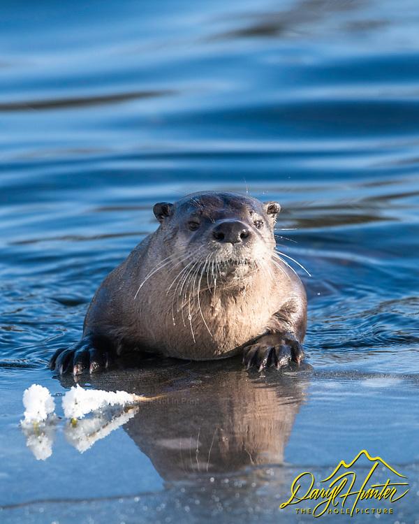 River otter portrait