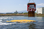Fifteen thousand rubber ducks are emptied in to the Sakawa River during  the Ashigara River festival, Kintaro duck-race in Matsuda, Kanagawa, Japan April 25th 2010