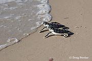 Australian flatback sea turtle hatchlings, Natator depressus, approach the ocean after emerging from nest, Crab Island, off Cape York Peninsula, Torres Strait, Queensland, Australia
