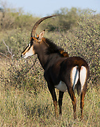 Zambian Sable bull<br /> Exotic Game Breeders / Eden Farm<br /> Limpopo Province<br /> South AfricaZambian / Matetsi Sable<br /> Exotic Game Breeders / Eden Farm<br /> Limpopo Province<br /> South Africa