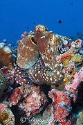 day octopus, Octopus cyanea, on coral reef, Christmas ( Kiritimati ) Island,  Line Islands, Republic of Kiribati ( Central Pacific Ocean )