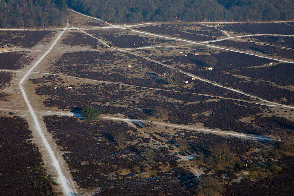 Nederland, Noord-Holland, Hilversum, 10-01-2009; wandelaars laten de hond uit tussen de grote grazers op de hei; people walking their dogs amidst cattle on the moor.heide, paden, hond uitlaten, sporen, moorland, paths, dog, track;. .luchtfoto (toeslag); aerial photo (additional fee required); .foto Siebe Swart / photo Siebe Swart