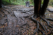 The root system of a tree in Sydenham Hill Woods, on 25th October 2020, in London, England. Sydenham Hill Wood forms part of the largest remaining tract of the old Great North Wood, a vast area of worked coppices and wooded commons that once stretched from Deptford to Selhurst. The wood is home to more than 200 species of trees and plants as well as rare fungi, insects, birds and woodland mammals.
