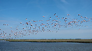 VENICE, ITALY - APRIL 2018. <br /> The Venetian lagoon is an incredible ecosystem, that hosts a variety of animals that is very wide. During the checking tour of the fishing net a flock of pink flamingos raises from the water, flying away to another part of the Venetian lagoon.