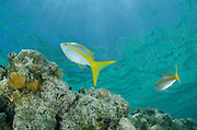 Yellowtail Snapper (Ocyurus chrysurus)<br /> Halfmoon Caye, Lighthouse Reef Atoll<br /> Belize<br /> Central America