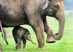 © Licensed to London News Pictures. 18/09/2014 London, UK. A two day old baby elephant peers out from behind his mothers legs at Whipsnade Zoo, Beds. The male calf  was born on September 16th to fourth time mum 30 year old Azizah and weighs in at 133kg. The as yet unnamed male was unusually born outside amongst the ten strong Whipsnade herd.  Photo credit : Simon Jacobs/LNP