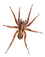 Alopecosa pulverulenta - Female. A common wolf spider found on open ground of many sorts. Alopecosas are more substantial spiders than the more abundant Pardosa species and more strikingly marked.