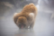 A snow monkey standing on a flat rock drinking in the middle of a hot spring in winter(Macaca fuscata), Jigokudani, Yamanouchi, Japan