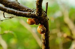 gewone tuinslak, Cepaea nemoralis