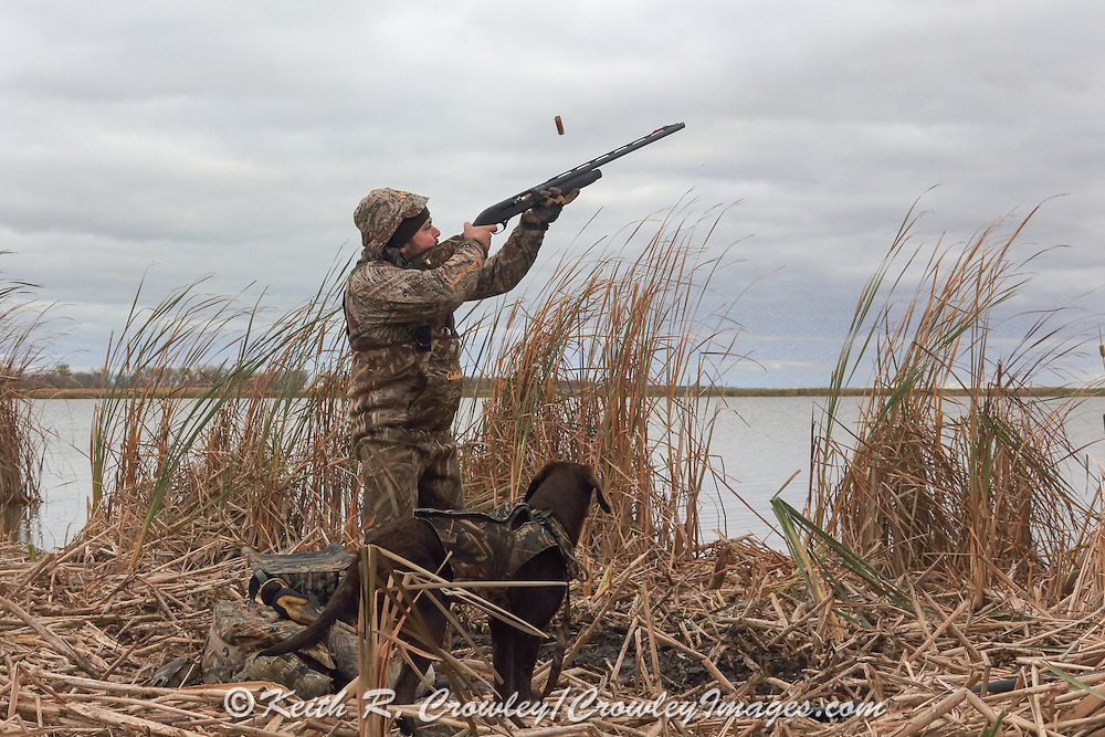 Young Labrador Retriever During a Manitoba Waterfowl Hunt