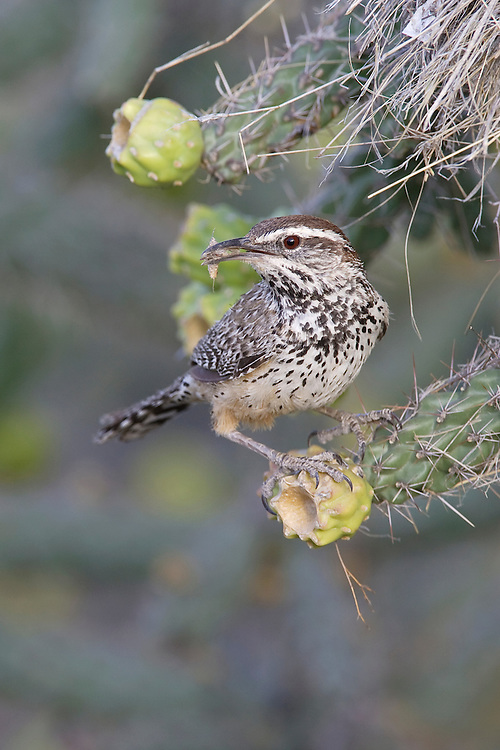 Cactus Wren - Campylorhynchus brunneicapillus - Adult at nest