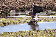 An immature Bald Eagle (Haliaeetus leucocephalus) (Halietus leucocephalus) glides low  in motion blur along Hood Canal in Puget Sound, Washington state, USA
