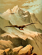The mighty Condor from 'Birds on the wing' by Giacomelli [Hector Giacomelli (April 1, 1822 in Paris – December 1, 1904 in Menton), was a French watercolorist, engraver and illustrator, best known for his paintings of birds.] Published in London by Thomas Nelson & Sons 1878. The book contains Hand-colored plates with accompanying text in verse