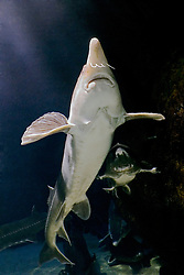 beluga, Huso huso, the largest sturgeon and largest European freshwater fish grows up to 5 m in length, weighs up to 2 tons, and lives up to 120 years. Critially endangered as it has been fished for caviar for centuries (c).