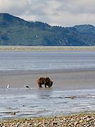 An Alaska coastal brown bear digs for clams in the tidal flat of Chinitna Bay, Lake Clark National Park, Alaska.