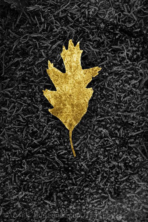 Still of a gold tinted oak tree leaf on frozen grass
