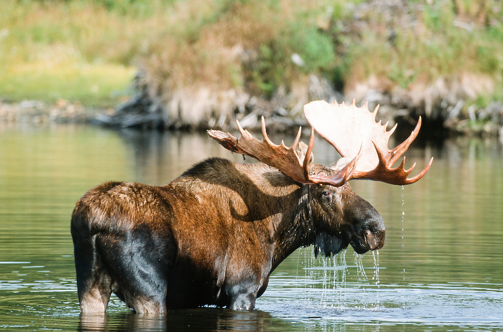 Alaska, Moose (alces alces) The largest of the deer family.  The massive antlers of the male are flattened and palmate, with numerous small branches. The moose is less gregarious than other deer and is usually alone outside the breeding season. In winter, it feeds on woody plants, but in summer, water plants provide the bulk of its food.