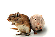 Cutout of two hamsters on white background