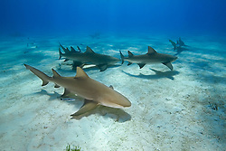 Lemon Sharks, Negaprion brevirostris, West End, Grand Bahama, Bahamas, Caribbean, Atlantic Ocean