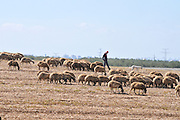 Male Beduin shepherd with his herd of sheep Photographed in Israel, Negev