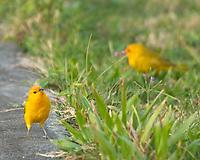 Saffron Finch (Sicalis flaveola). Kailua-Kona Town. Big Island, Hawaii. Image taken with a Nikon D2xs camera and 80-400 mm VR lens.