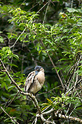 A Boat-billed Heron (Cochlearius cochlearius) preens on his perch in the Bladen Nature Reserve, Belize.