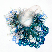 Top-down view of an Indo-Pacific Portuguese Man-of-War (Physalia utriculus). This is one of many thousands that were part of a mass stranding in South Africa. Such strandings happen from time to time, bringing these colonial siphonophores to shore, along with other associated animals such as Velella velella, Janthina janthina, and Planes major from the rarely seen open-ocean, blue-water community of life. The beautiful blue and green skirt surrounding the air pocket (pneumatophore) are loaded with nematocysts, which deliver potent venom