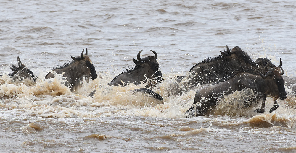 Blue wildebeest (Connochaetes taurinus) plunge across the Mara River between the Masai Mara National Park in Kenya and the Serengeti National Park in Tanzania on their migration towards fresh grazing. Serengeti National Park, Tanzania.
