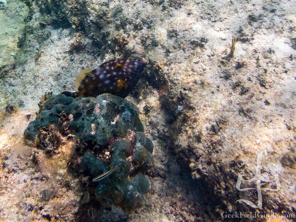 Smooth trunkfish?