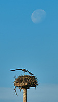 Osprey (Pandion haliaetus). Fort De Soto Park. Pinellas County, Florida. Image taken with a Nikon D300 camera and 200 mm f/2 VR lens and 1.7x TC-EII Teleconverter.