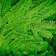 Lush Green Ferns near Narada Falls, Road to Paradise, Mt. Rainier National Park, Washington State, USA